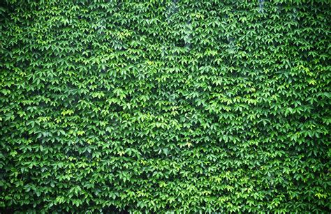 wallpaper for walls green wall of green ivy wallpaper wall mural muralswallpaper co uk