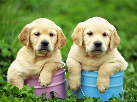 how to labrador dogs quiz how well do you about labradors