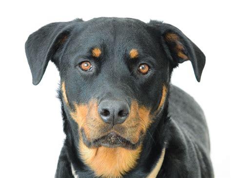 chion rottweiler photo gratuite rottweiler chien visage image gratuite sur pixabay 814251