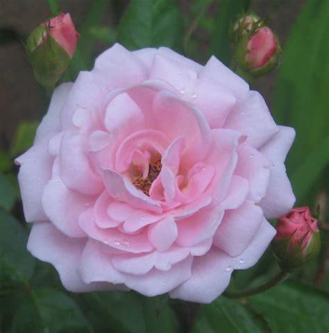 Fleur De L Amitié by Les Fleurs De L Amiti 233 Le De Fryou