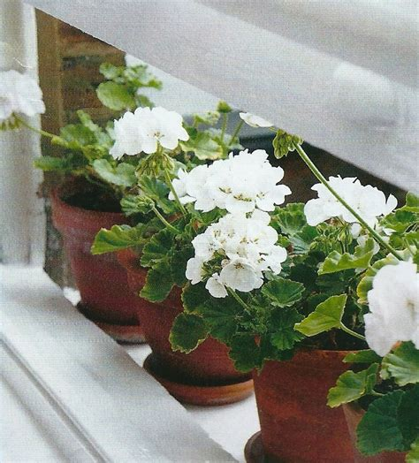 Best Windowsill Flowers Best Windowsill Flowers 28 Images Best Houseplants For
