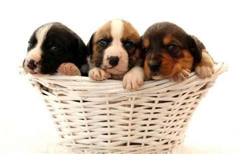 val golden retriever rescue 1000 images about puppies on golden retriever rescue miniature