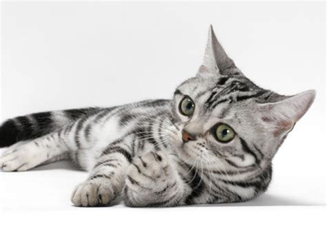 best breeds for cats best cat breeds for time owners