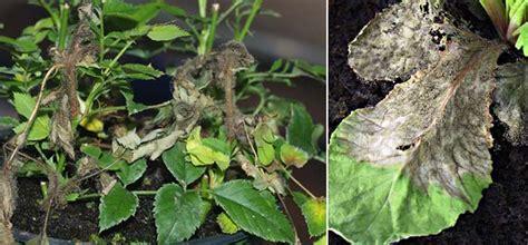 come curare il basilico in vaso kalanchoe crassulaceae come curare coltivare e far