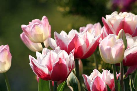 Mukena Bali Tulip Dewasa Fit L free tulips stock photo freeimages