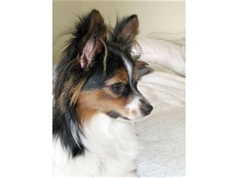 papillon puppies for sale in ohio papillon puppies for sale in ohio