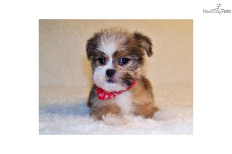 shih tzu puppies for sale in st louis mo missouri shih tzu puppies for sale breeds picture