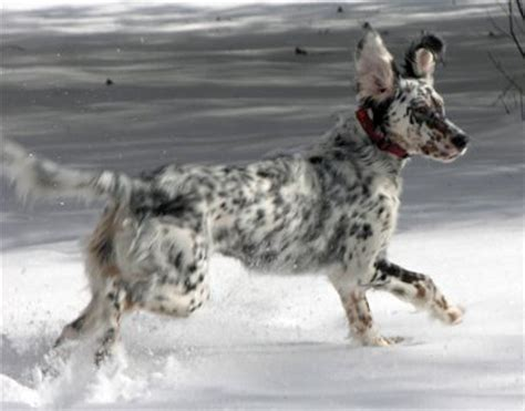 setter dictionary definition the dog dictionary page 8 pprune forums