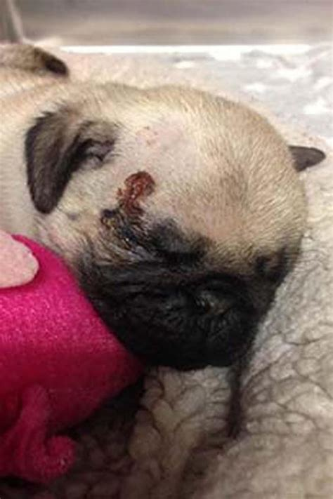 rspca pugs wimbledon appeal launched after pug puppy found dumped in south west