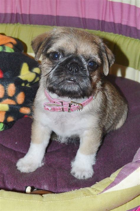 pug and teacup yorkie mix pug yorkie puppies quotes