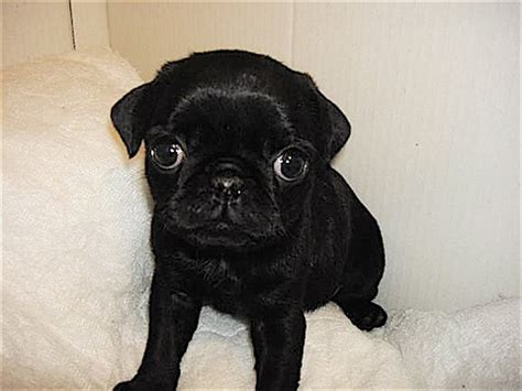 baby pug black 191 best pugs images on