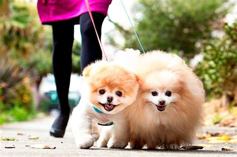 cutest pomeranian puppy in the world boo the cutest in the world images boo and buddy the cutest dogs wallpaper