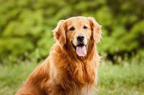 expectancy of golden retrievers top 7 breeds for fighting depression
