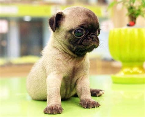 pug chug 3 4 pug chihuahua mini chug pug mixed breeds to be chugs and you are
