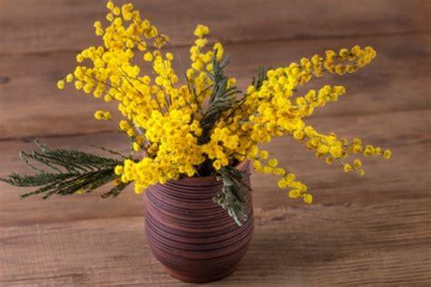 pianta mimosa in vaso cura delle piante in vaso pollicegreen