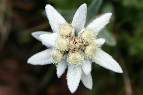 fiore stella alpina leggenda stella alpina curiosit 224 grechi giardini