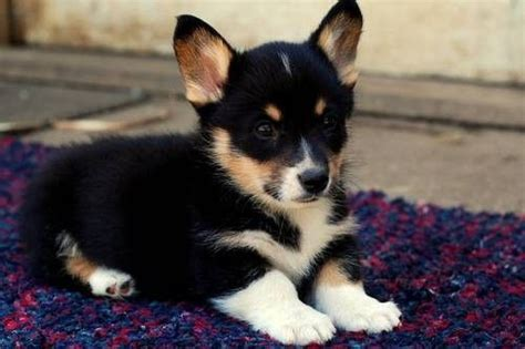 myrtle puppies 1000 ideas about corgi puppies on pembroke corgi corgis and