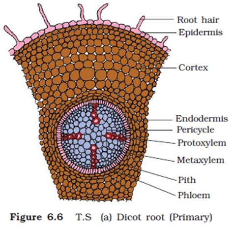 difference between monocot and dicot root cross section difference between dicot and monocot roots