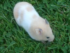 file hamster im gras jpg wikimedia commons