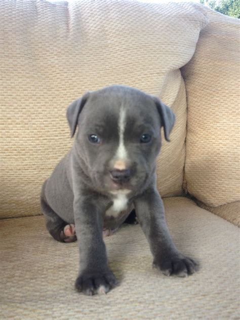 staffy puppies for sale beautiful blue staffordshire bull terrier puppies alford lincolnshire pets4homes