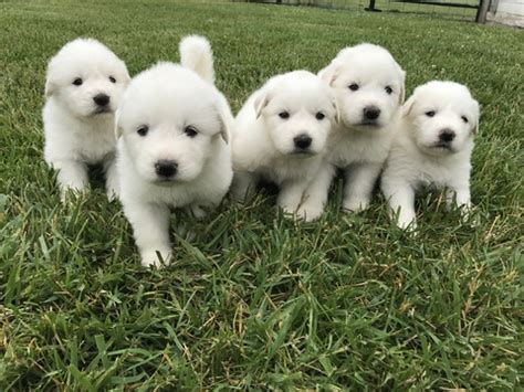 free great pyrenees puppies view ad great pyrenees puppy for sale ohio archbold usa
