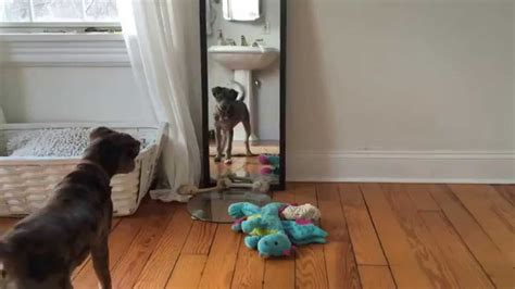 cute puppy penny the catahoula leopard dog barking at