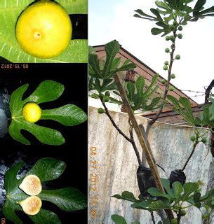 Harga Bibit Tin Black Ischia list varian jual pohon tin 081213198491