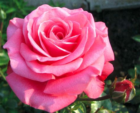 imagenes de rosas super hermosas rosas super bellas related keywords rosas super bellas