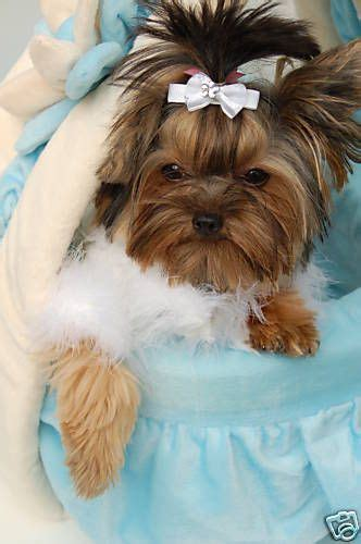 show me a yorkie 8 best images about show me darn dogs on yorkie pets and pink