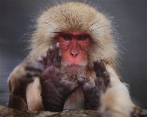 animals monkeys snow monkey hairy japanese macaque  wallpaper high quality wallpapers