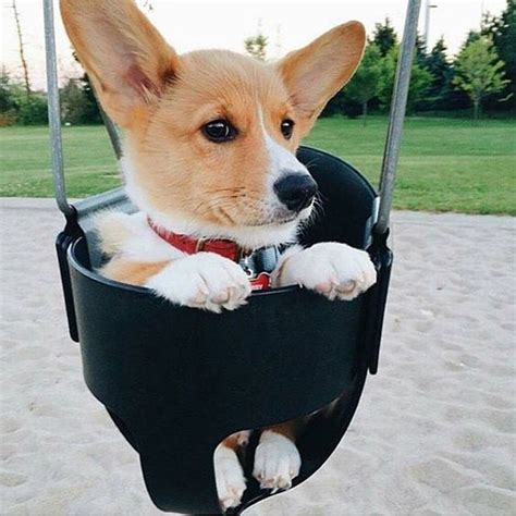 dog mood swings 20 cute corgi dog pictures you will love fallinpets