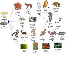 Tundra biome food web tundra food web autumn n jpg pictures to pin on