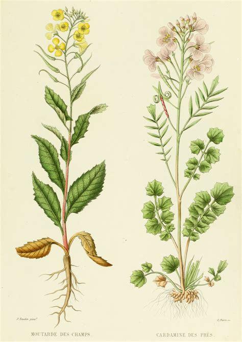 printable botanical images mustard cardamine french antique botanical print flowers