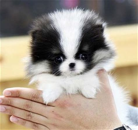 teacup pomeranian health how do pomeranians live pommy