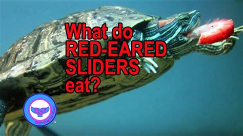 what do red eared sliders eat the super fins