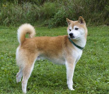 rottweiler shiba inu mix german shepherd husky mix temperament breeds picture