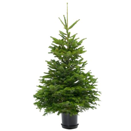 Planter Sapin Nordmann by Potted Nordmann