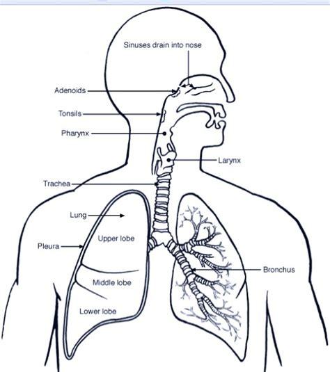 the human lungs diagram pathophysiology of pneumonia symptoms causes treatment