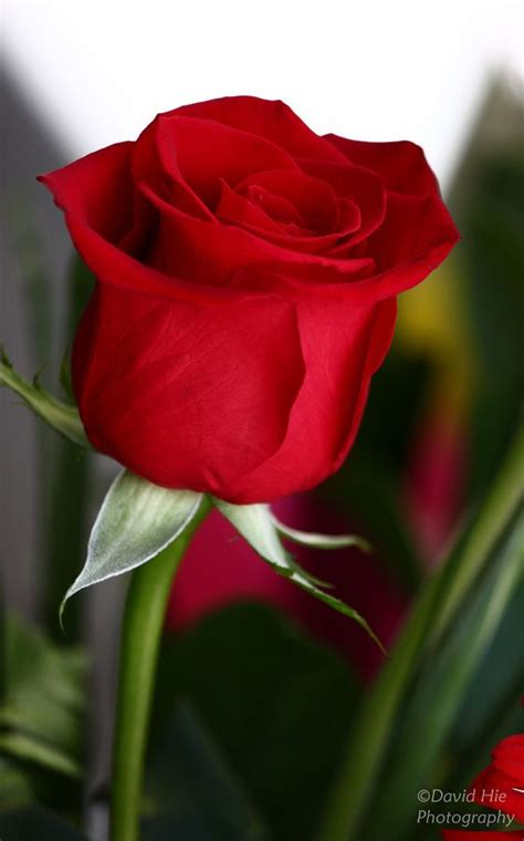 imagenes de rosas solas pin de yoly020 en love espa 241 a 020 pinterest
