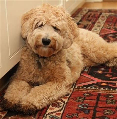 labradoodle haircut pictures labradoodle hair styles labradoodle haircut love