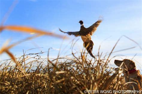 how to a to pheasant hunt platte sd pheasant hunts pheasant hunts in south dakota