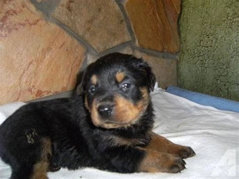 german rottweiler puppies for sale in missouri valentines day german rottweiler puppies for sale in cassville missouri classified
