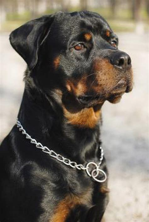 rottweiler skull difference between an american rottweiler and a german rottweiler cuteness