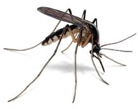 mosquito how to get rid of mosquitoes