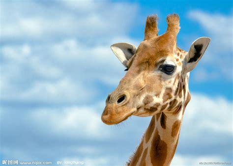 zoo zoo themes for windows 7 长颈鹿摄影图 野生动物 生物世界 摄影图库 昵图网nipic com