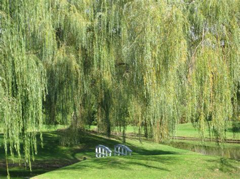 weeping willow trees pinterest