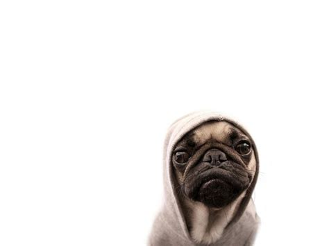 pug hd images pug hd wallpapers hd pictures