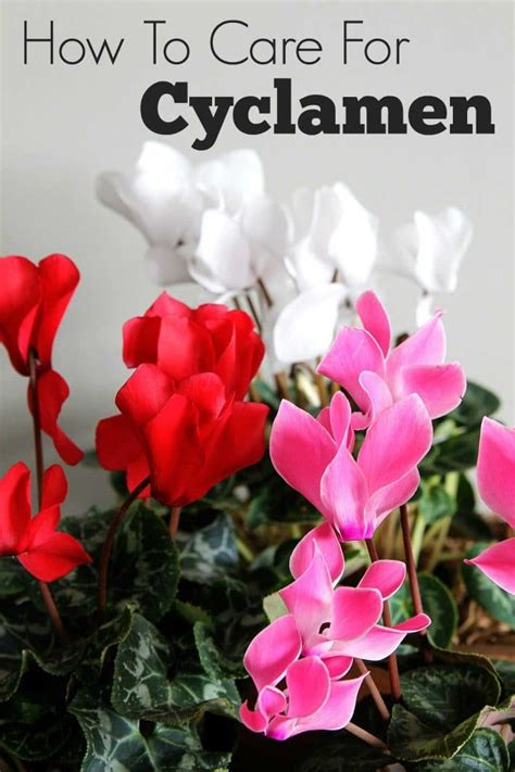 cyclamen care how to grow indoor cyclamen house of hawthornes