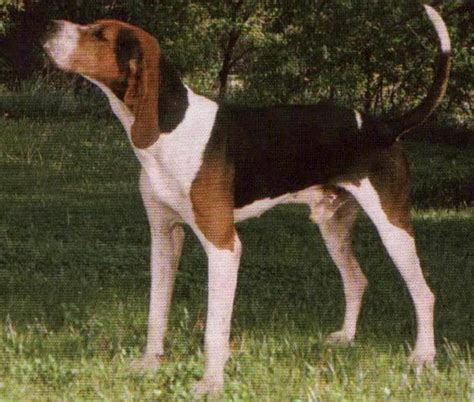 are dogs nocturnal picture of treeing walker coonhound breeds picture