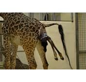 Cincinnati Zoo Welcomes A New Baby Giraffe And You Can Help Name Her